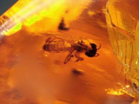Biene in Berstein 100 Millionen Jahre alt