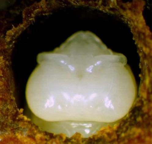 The eyes of the bee pupa appear pale pink but its body remains white on the 13th day.