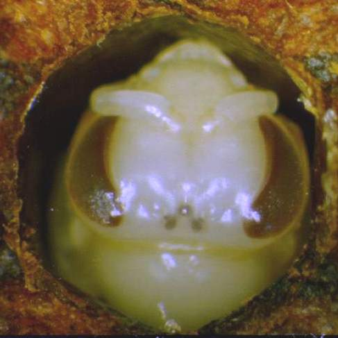 The purple-eyed bee pupa as seen on the 15th day of development.