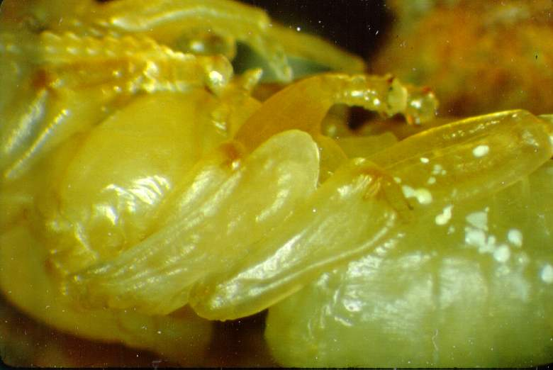 The body of the pupa as seen on the 16-17th day.  Notice that the joints on the legs are pigmented.  The white spots on the pupa's abdomen are mite feces.