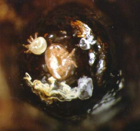 Adult male and female mites that had just recently molted from the deutonymph stage.  Their shed skins are the transparent or whitish objects located to the right of the two mites (the male skin is smaller and located near the top of the cell, and the female skin is touching the honey bee's old larval skin)