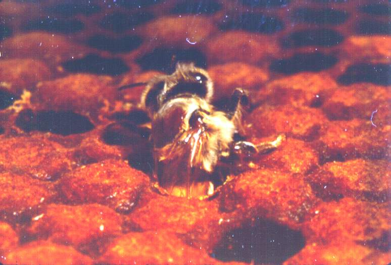An adult worker bee emerging from her brood cell on the 19-20th day.  This bee has an adult mite riding on her thorax (it's hard to see in the photo, but the reddish disc on the thorax is a varroa mite).
