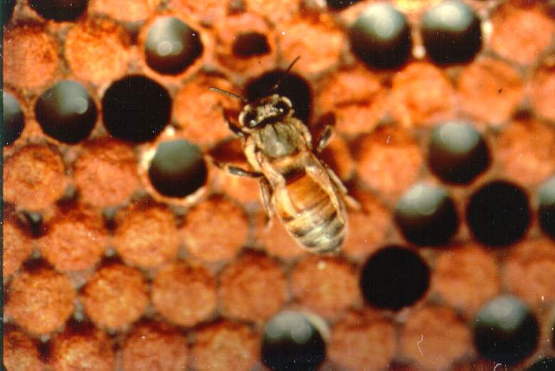 An adult worker bee with damaged wings as the result of developing within a brood cell infected by varroa mites (photo courtesy of Dr. Keith Delaplane; University of Georgia).