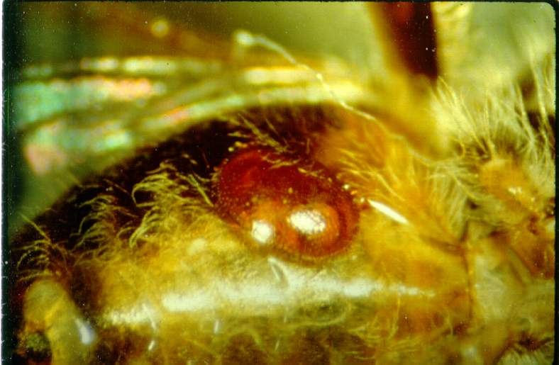 Adult mite on abdomen of an adult worker bee (photo courtesy of Dr. Keith Delaplane; University of Georgia).