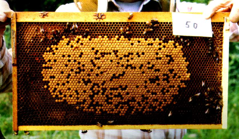 A brood comb showing capped worker cells.